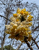 edgeworthia @ display gardens pine knot