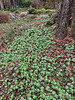 Drift of Eranthis, Montrose