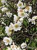 Flowering quince, Montrose