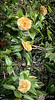 Yellow camellia, Pine Knot