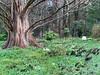 Metasequoia, Montrose