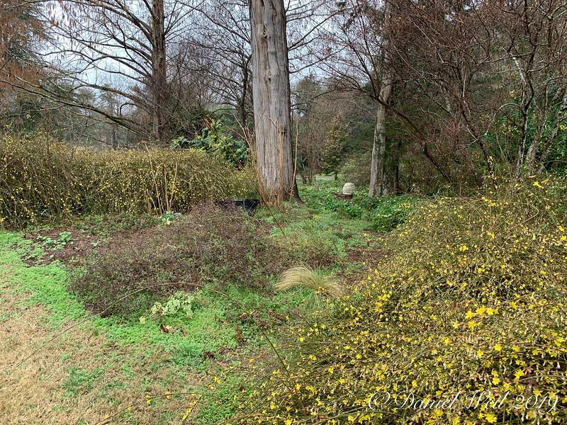 Montrose, winter jasmine