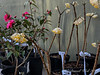 edgeworthia, camellia 4 sale pine knot
