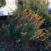 Cuphea ignea, Firecracker Plant, at Montrose