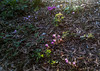 Cyclamen at Montrose