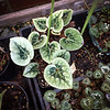Cyclamen in Greenhouse at Montrose