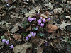 Cyclamen in woods at Montrose