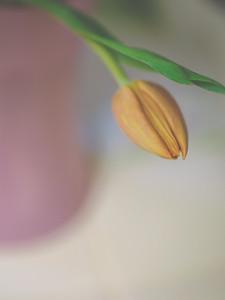 Birthday Tulips   2010