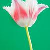 Tulipa, Parrot tulip