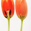 Tulip060D.jpg