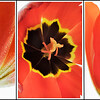 Tulips001D.jpg