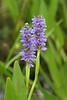 Pickerel-Weed