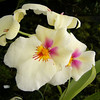 Orchid, Miltoniopsis butterfly