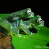 Yellow-flecked Glassfrog