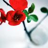 Chaenomeles, Japanese flowering quince