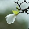 Magnolia kobus, Northern Japanese magnolia