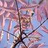 Toona sinensis 'Flamingo', Chinese mahogany