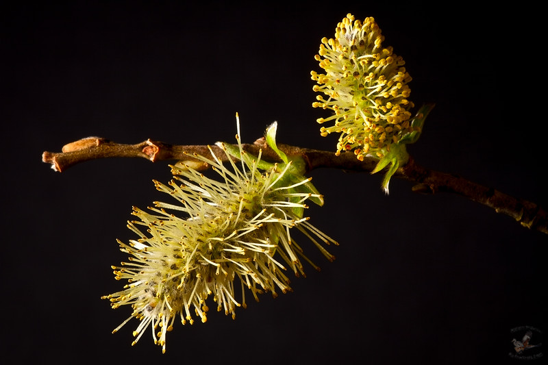 Pussy Willow (Salix Catkins)