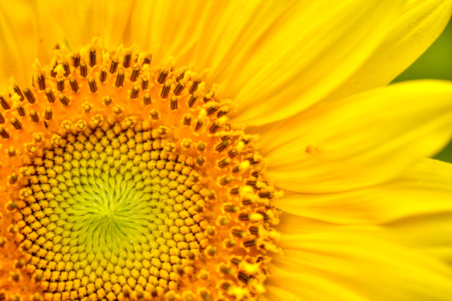 Up Close with a Sunflower