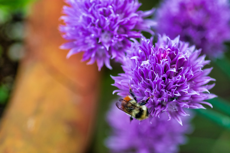 Bee on a Chive Blossom