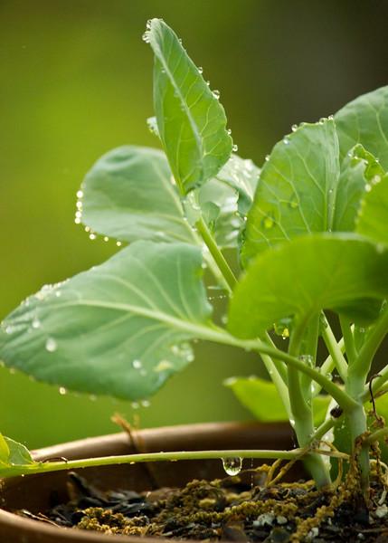 Broccoli plant with dew