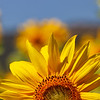 Half a Sunflower Is Better than None