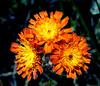 OrangeHawkweed-