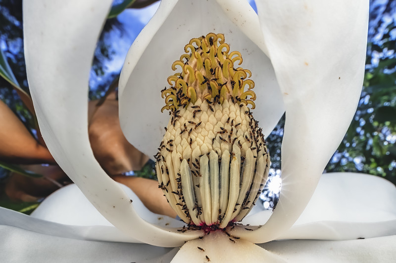 Wild southern magnolia flower