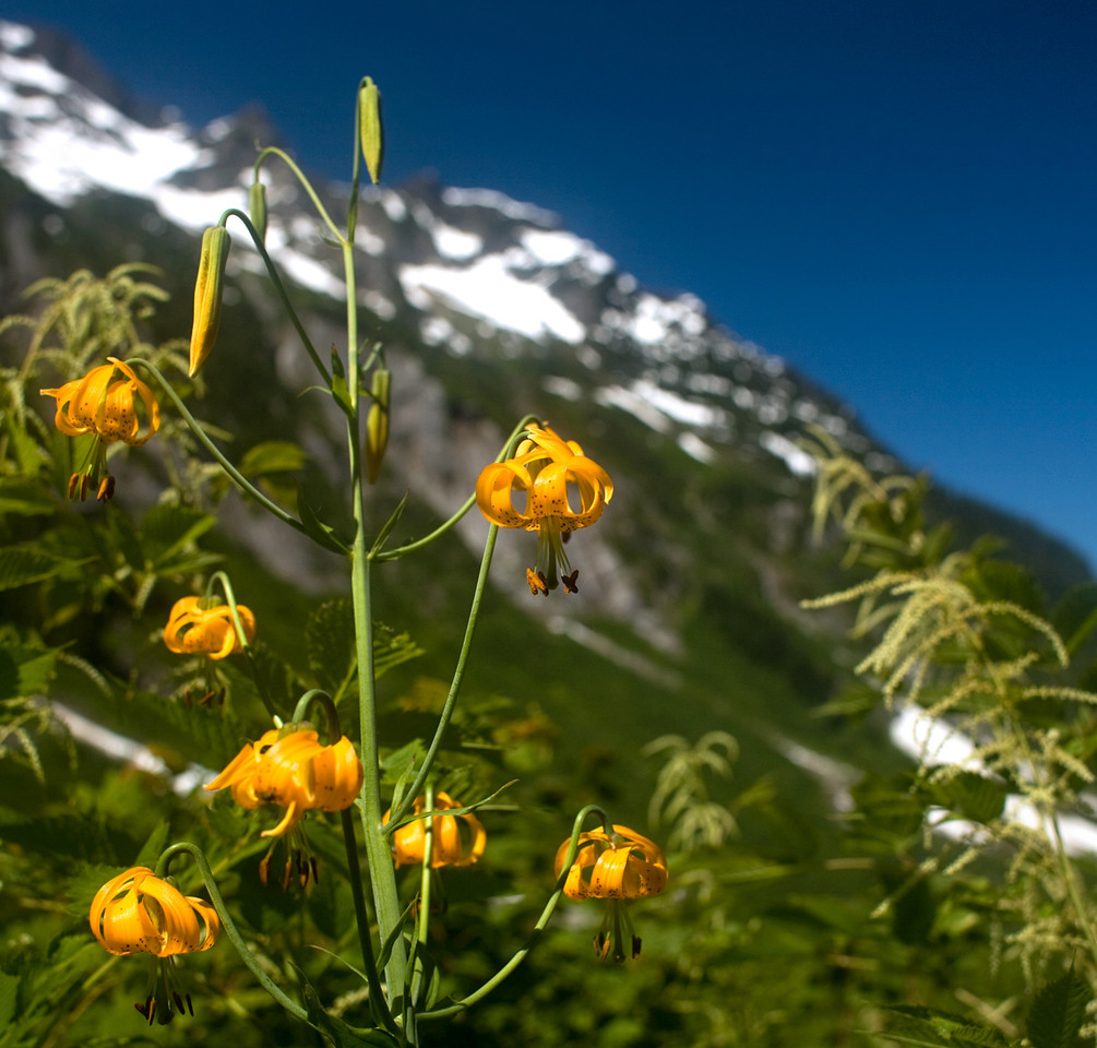 Columbia Lily, Mt Baker Wilderness