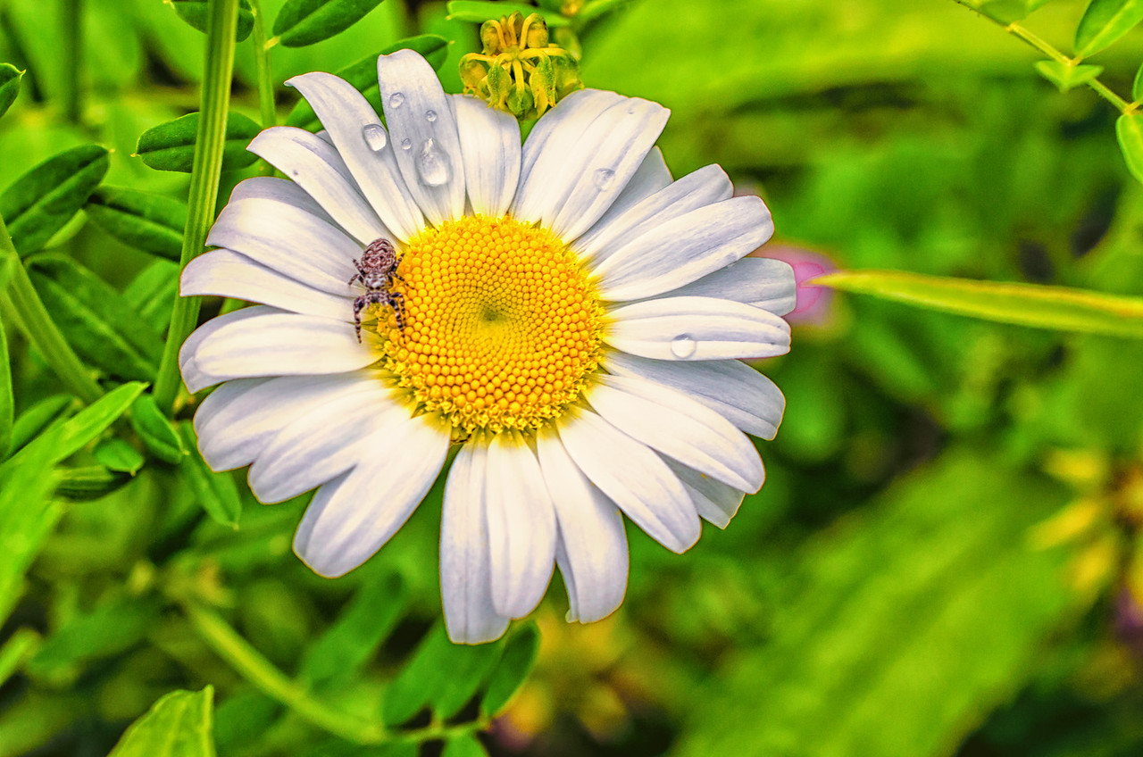 Daisy and spider