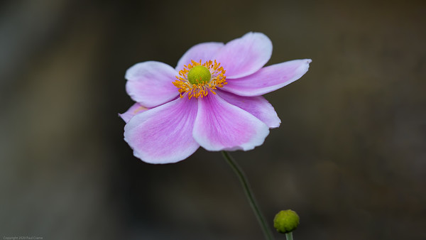 Another Pink Flower