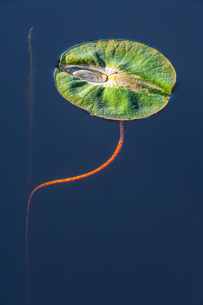 Lilly Pad - Brazos Bend State Park, Ft. Bend Co., TX