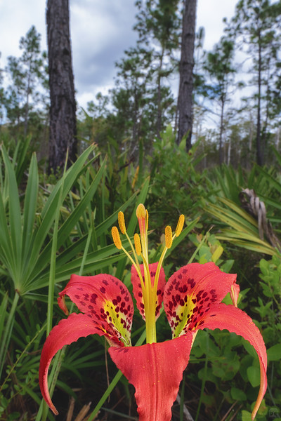Catesby's lily, pine lily, leopard lily, tiger lily, or southern-red lily