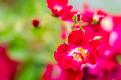 Red bloom with bokeh