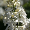 White Lilac 2