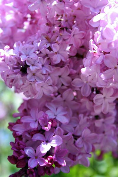 Pink Lilacs 2
