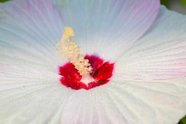 Hibiscus Dancer
