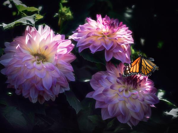 Monarch Blooms
