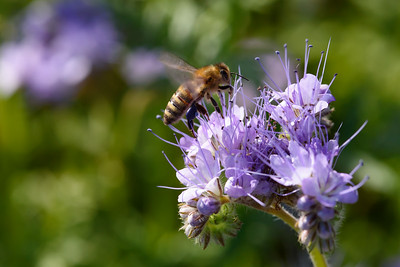 Lacy Phacelia (Lacy Scorpion-weed or Svazenka vratičolistá in Czech) and the bee