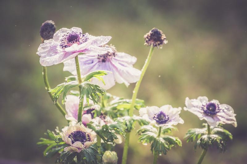 Morning Anemones