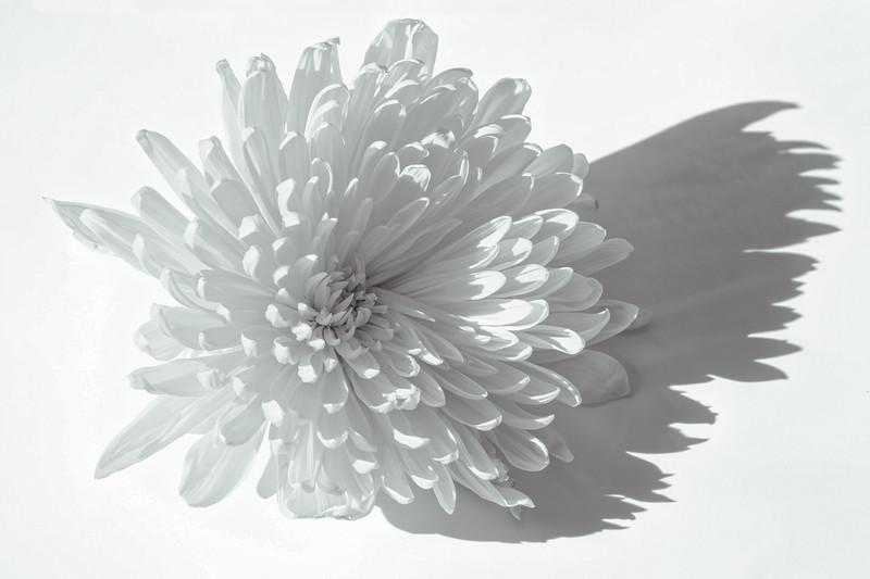 Chrysanthemum  Angel Wing