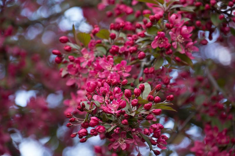 Cherry Blossoms, Deep Pink