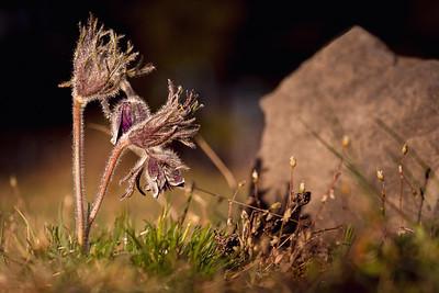 Pasqueflower (Koniklec)