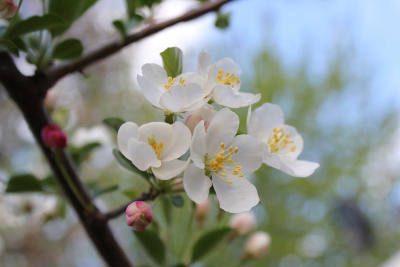 Tina Crab Blossoms