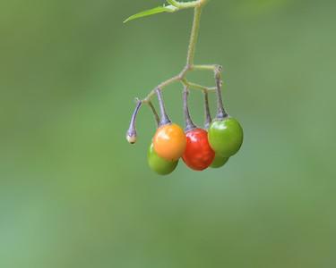 Pulborough Nikon Berries