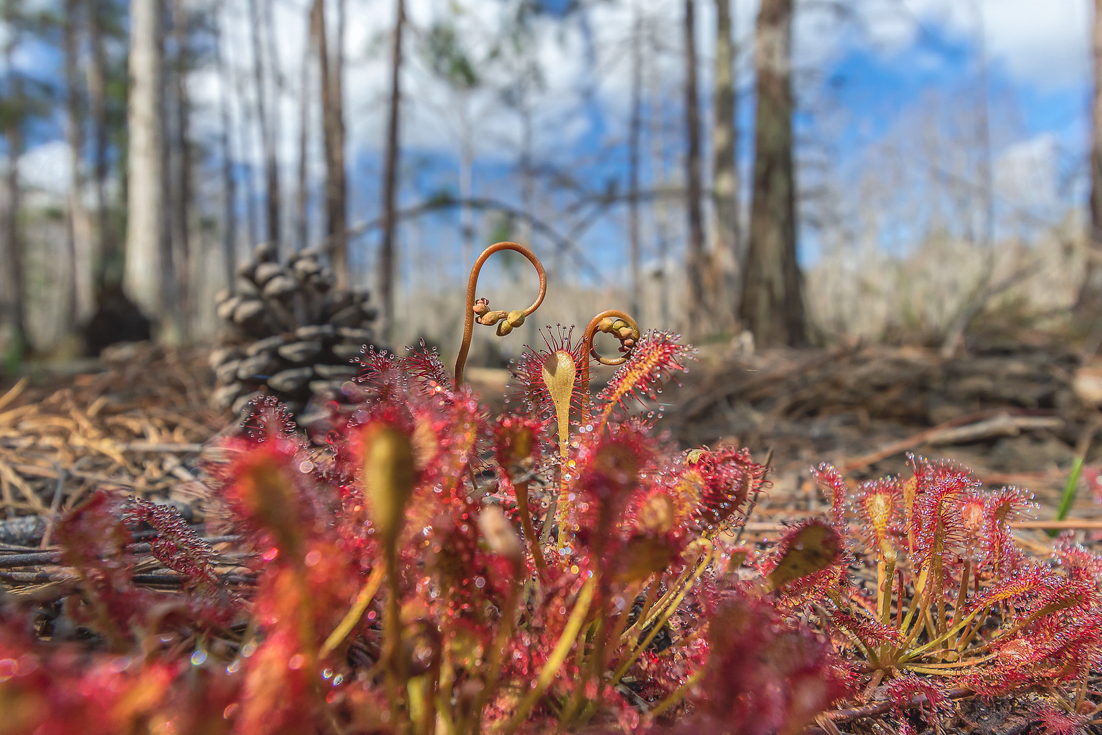 Wild pink sundew (Drosera capillaris) at the edge of a cypress dome swamp in Orlando, Florida [OC] [1600×1068]