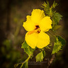The Hawaii State Flower, Hibiscus brackenridgei.  The plant is native to dry forests and shrub lands at elevations from 400 to 2,600 feet. Though found on all the main Hawaiian islands except Ni'ihau and Kaho'olawe, it is not common in any location and is listed as endangered.