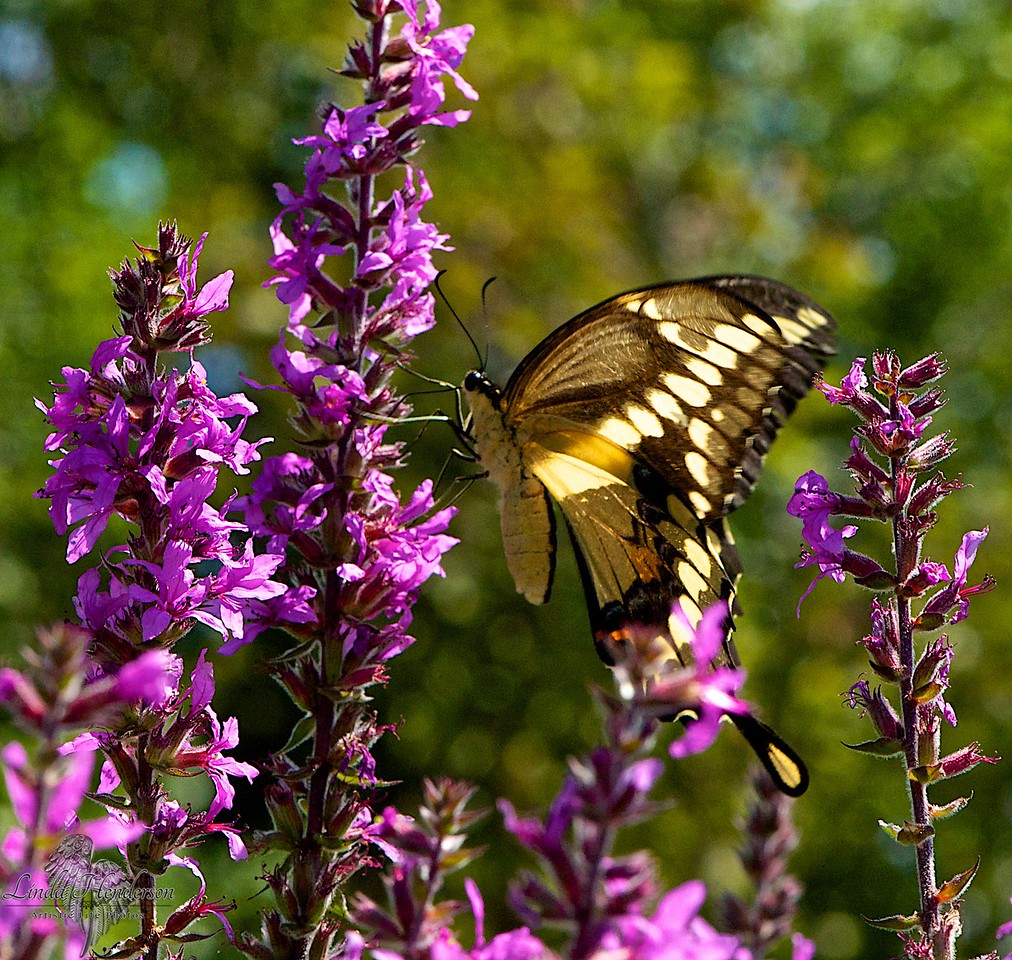 Butterfly Feeding On Purple Plant
