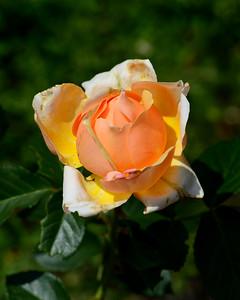 Old Rose Glow