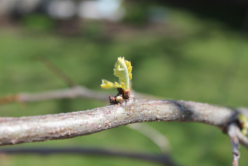 Honeylocust